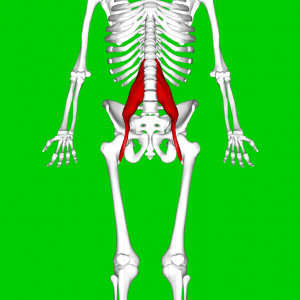 Psoas_major_muscle08